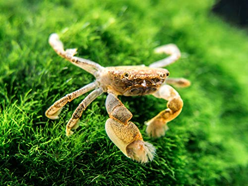 Aquatic Arts 2 Live Freshwater Pom Pom Crabs | Real Living Nano Aquarium Fish Tank Pet | Betta/Danio/ Rasbora/ Guppy Compatible