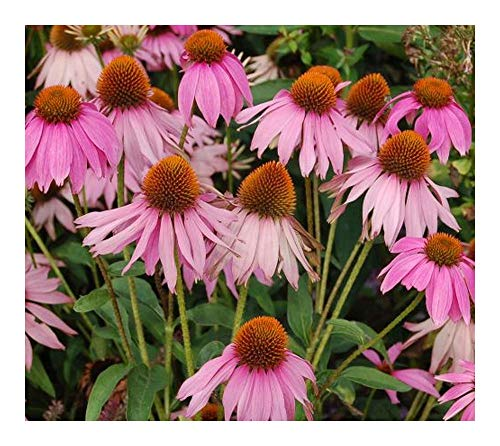 Echinacea purpurea - Echinacée pourpre - Rudbeckie pourpre - 30 graines