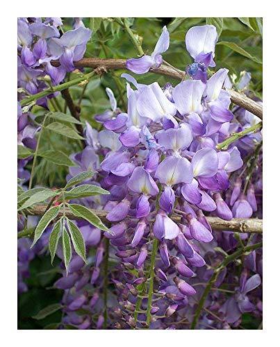 Wisteria sinensis - Glycine - 15 graines