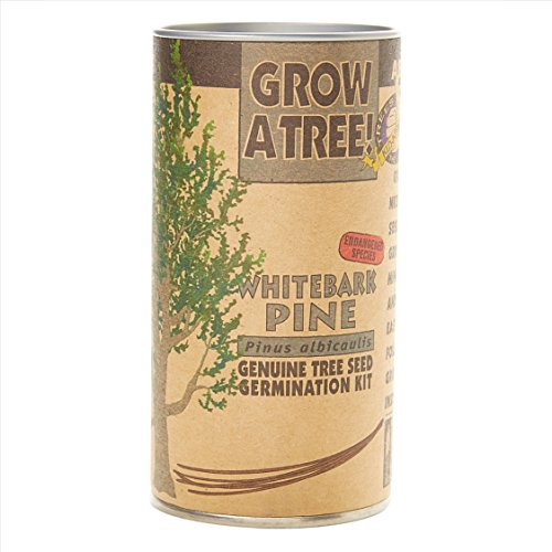 Whitebark Pine | Tree Seed Grow Kit | The Jonsteen Company