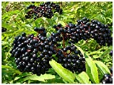 (7) Adams Elderberry Unrooted Cuttings, American Native Black Fruit Bearing Perennial, Fresh Cuttings