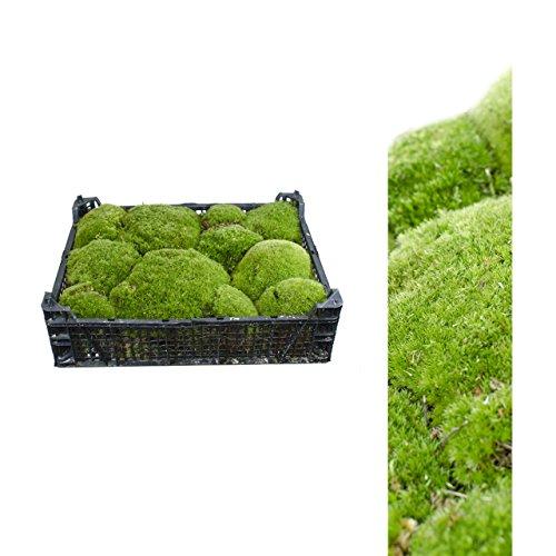 natural bola musgo, 1x Caja fresca musgo, Bolle musgo, Colina musgo