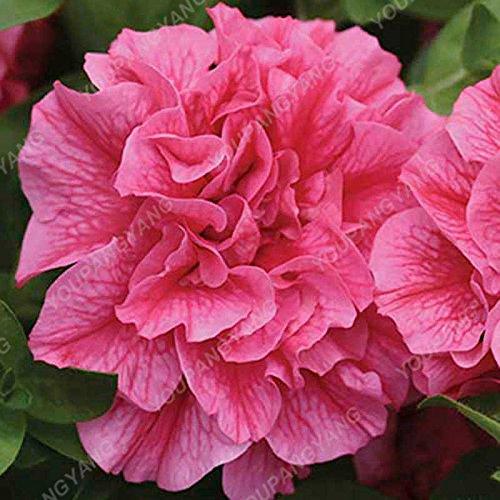 100pcs Petunia Seeds Four Seasons peut être planté 25 sortes de couleurs Pétunia Graines de fleurs Bonsai pour le bricolage jardin Plantation Jaune clair