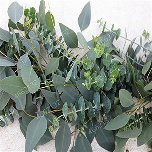 Ferry 100 PCS Mexikanische riesiger Eukalyptusbaum Gartenpflanze Hof Gehölze, Kontrolle, Tropischer Baum für Blumentopf: 7