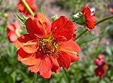 Rote Nelkenwurz Geum chiloense 'Feuerball' 50 Samen