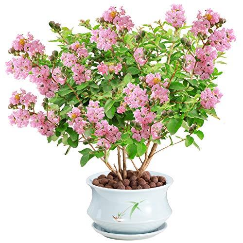 Semillas de plantas de flores de mirto de crape 30 piezas (Lagerstroemia Indica) Plantas de árboles de primera calidad orgánicas Semillas de flores para plantar jardín