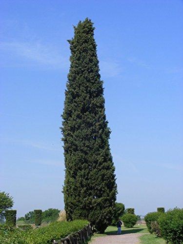 1000 Samen Mittelmeer-Zypresse (Cupressus sempervirens)