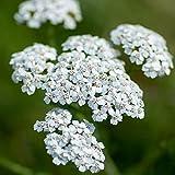 Semillas de Milenrama 150 Semillas de Achillea Millefolium