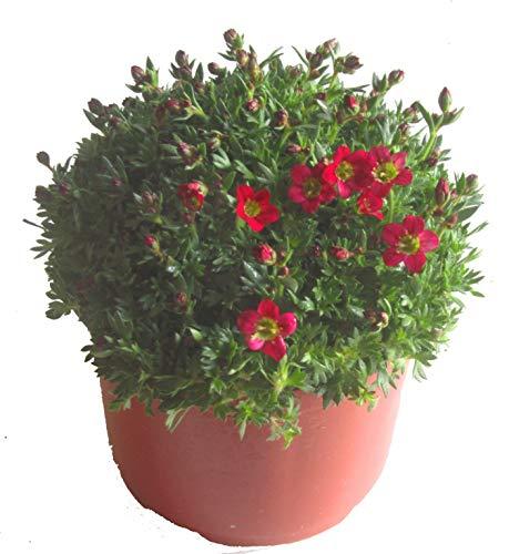 Saxifraga arendsii rot- Moossteinbrech blühende, winterharte, wintergrüne Staude - als Balkonpflanze, Bodendecker, Steingarten- und Beet-Pflanze im 12 cm Topf