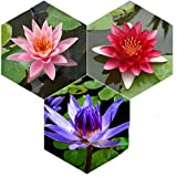 Planterest - Water Lily Tuber 3 Pre-Grown Hardy Lily Rhizome Live Aquarium Plant