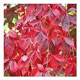 Parthenocissus quinquefolia (Virginia creeper)'