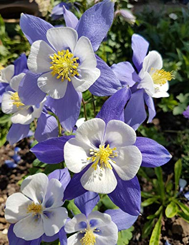 Notebook: Aquilegia Flower Blossoms Blooms Gardening Garden Annuals Perennials Seeds Plants Border Flowers