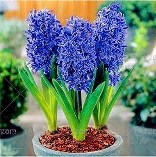 Las nuevas 100 PC/bolsa de jacinto de flores en maceta de Bonsai (bulbo no jacinto) Holanda hidropónico flor al aire libre Bonsai s para jardín azul (sólo semillas)