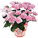 花のギフト社 母の日 あじさい 花鉢 キラキラ星 鉢植え 鉢花 プレゼント 花 鉢 フラワーギフト