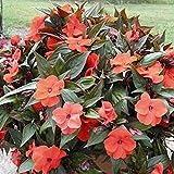 25個の種子 - ニューギニアインパチェンスオレンジブロンズリーフスプリング種子