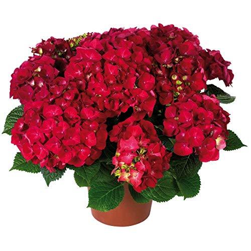 Tom Garten kompakte Wuchsform Winterharte mehrjährige Hortensie 'Hot Red' - geeignet für Kübelbepflanzung und den Garten - ca. 25 cm Pflanze, Rot