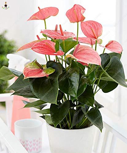 Generic Fresh 50 Stk. Anthurium Andraeanu Blumensamen zum Pflanzen von blassrosa