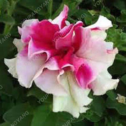 200 pcs/sac double Petunia Graines Balcon Oblique Petunia pot de fleurs Graines Bonsai Pétunia multi-couleurs végétales pour la maison Green Garden
