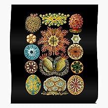 Botanical Scientific Style Old Haeckel Ernst Illustration Hackel Graphite Watercolor Regalo para la decoración del hogar Wall Art Print Poster 11.7 x 16.5 inch