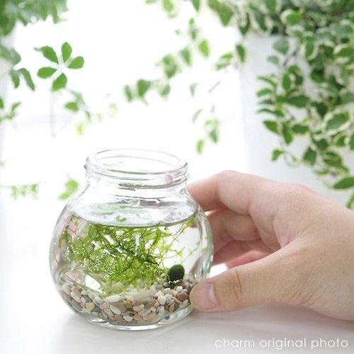 charm(チャーム) (水草)私の小さなアクアリウム ~マリモとウィローモス~(1セット) 説明書付 【生体】