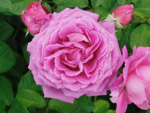 'Jennifer-Rose' (R), Duft-Beetrose im 4 l Container