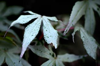(2 Gallon) 'Ukigumo' Japanese Maple- One of The Most Fascinating White and Pink Variegation Upright Japanese Maples. Common Name: Floating Cloud Japanese Maple