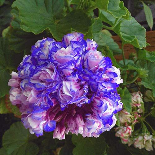 Rare 'Night Blue' Geranium Seeds Appleblossom Rosebud Pelargonium Perennial