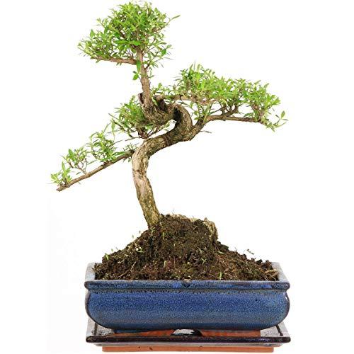 Junischnee, Bonsai, 11 Jahre, 36cm