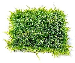 Christmas Moss Carpet.How To Grow Christmas Moss Essentials Aquascape Addiction