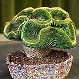 good01 100pcs semi di piante grasse decorative mini cactus orientali da coltivare | fai da te casa giardino balcone bonsai 100pcs semi di cactus