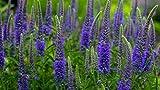 Portal Cool Semi di fiore organico Veronica Spicata MIX. Perrennials Da Ukraine