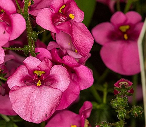 100 Rose Queen Twinspur Diascia Barberae Semences Evergreen Plante d'intérieur