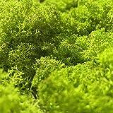 GJS Islandmoos - Moos in 1kg / 500g / 200g, versch. Farben - Echtes konserviertes Natur-Moos (Island) zum Basteln, Dekomoos für die Deko zu Ostern, Modellbau (hellgrün, 500g) - 4