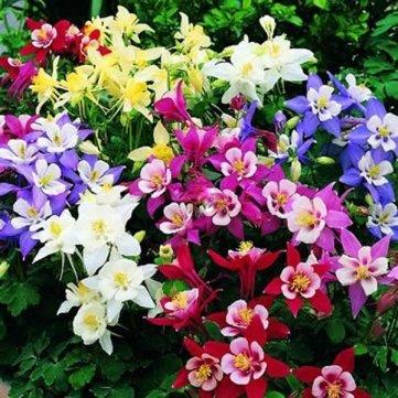 Haute Qualité 50 Graines de Columbine Fleur Jardin des plantes