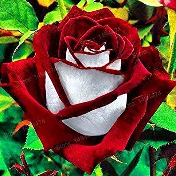 Vistaric 200 pcs Rare Mixte Couleur Rose Graines arc-en-rose rose graines Plante vivace fleurs bonsaï pot Maison Jardin Décoration Fleur graines Violet