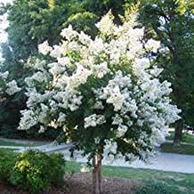 Natchez White Crapemyrtle Tree (2-3 feet tall in full gallon containers) fast growing crape myrtle