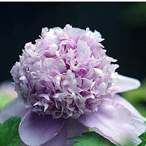 2Pcs Rare Pfingstrose Lampen, Mehrjährige Blume Rhizome/Bare Wurzel Mit Knollen Gepflanzt Alle Jahr Runde Und Blüte In Sommer