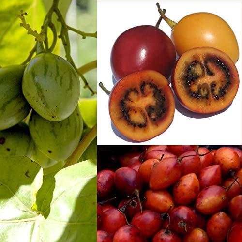 10 Stück Tamarillo Samen (exotische Baumtomate, Cyphomandra betacea, frische gesunde Samen, Gemüse, Obst), Versand aus Deutschland