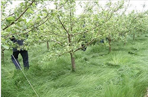 Sage Thatch Seeds Obstgarten Gründüngung Grassamen American Sage Thatch Seeds Rasensamen 500 Kapseln