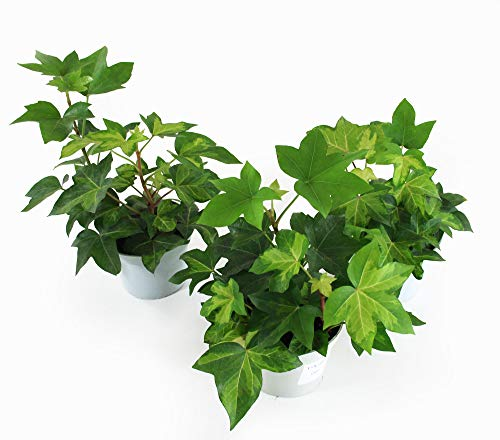 Isenzo Lebende Topfpflanze Efeuaralie Fatshedera zweifarbig im 13cm-Topf Zimmerpflanze Topfpflanze Efeu Kletterpflanze Kletterer Blatts