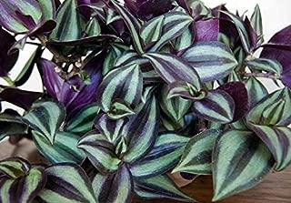 Bareroot Plants Purple Wandering Jew 3