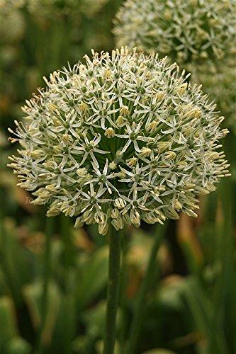 25 bulbes d'Allium/Ail d'ornement\