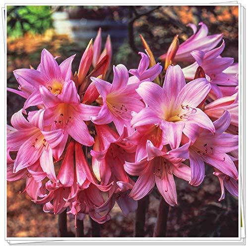 Amaryllis Bulbs,Potted Like The Goddess of Rainbow,Gorgeous Noble House-1,6 Bulbs