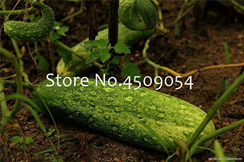 Bloom Green Co. 100 Piezas de Pepino Gigante Bonsai Mini Pepino ...
