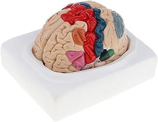 MagiDeal 1:1 Multicolored Removable 8 Parts Human Brain Cerebral Cortex Anatomical Model