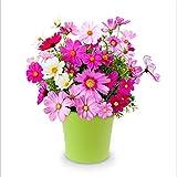 Yumhouse Semillas de Flores para Jardin,Cosmos Flower Seed flowers-100 g_Golden,Semillas de Flores Exterior trepadoras