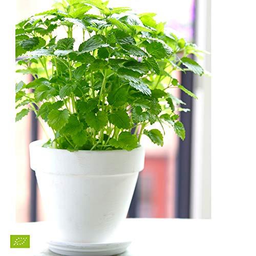 Melissa officinalis | Zitronenmelisse Pflanze | Höhe 5-15cm | Kräuter im Topf Ø 13cm