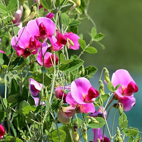 TOYHEART 20 Piezas De Semillas De Flores De Primera Calidad, Semillas De Guisantes, Hermosas Y Atractivas Plantas De Flores De Hierbas Aromáticas Polinizadas Abiertas, Semillas De Guisantes Para