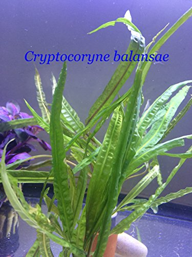 Cryptocoryne balansae - P035 - live aquarium plant. Buy 2 gets 1 FREE same plants