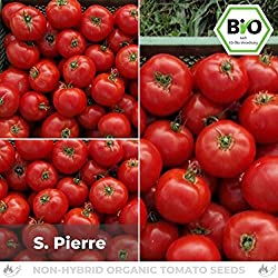 Pepperworld S. Pierre Bio Fleisch-Tomate, 10 Korn, Tomaten-Saatgut zum Anpflanzen, saftig und schmackhaft